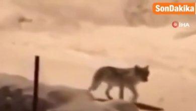صورة مثل أفلام الرعب .. 20 ذئب جائعين يدخلون قرية في تركيا بسبب البرد الشديد