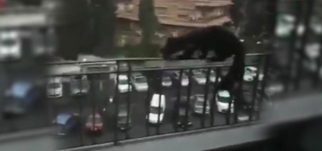 حيوان غير مألوف يظهر في شوارع دمشق 1