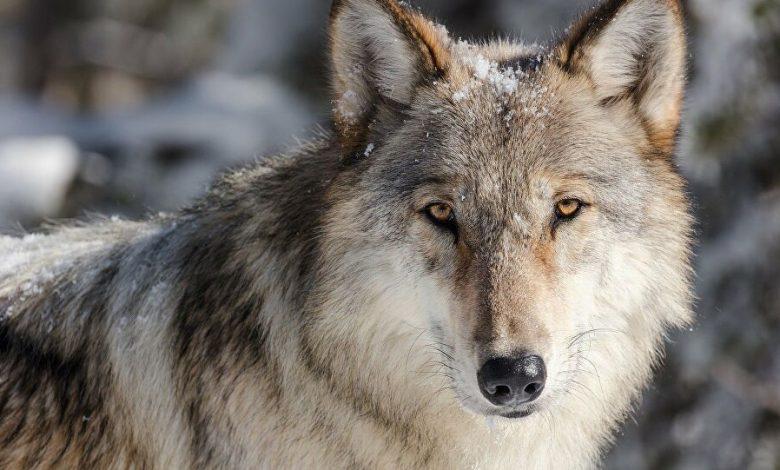 صورة مواطن تركي ينقذ طفلته من أنياب الذئب الجارح في ولاية قيصري (صور )
