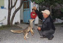 Photo of صداقة فريدة من نوعها..ثعلب يقيم صداقة مع عائلة تركية و يزورها يوميا
