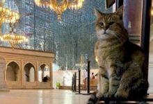 صورة خبر حزين عن قطة 'آيا صوفيا' الشهيرة