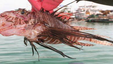 صورة سمكة الأسد السامة تغزو الأسواق التركية